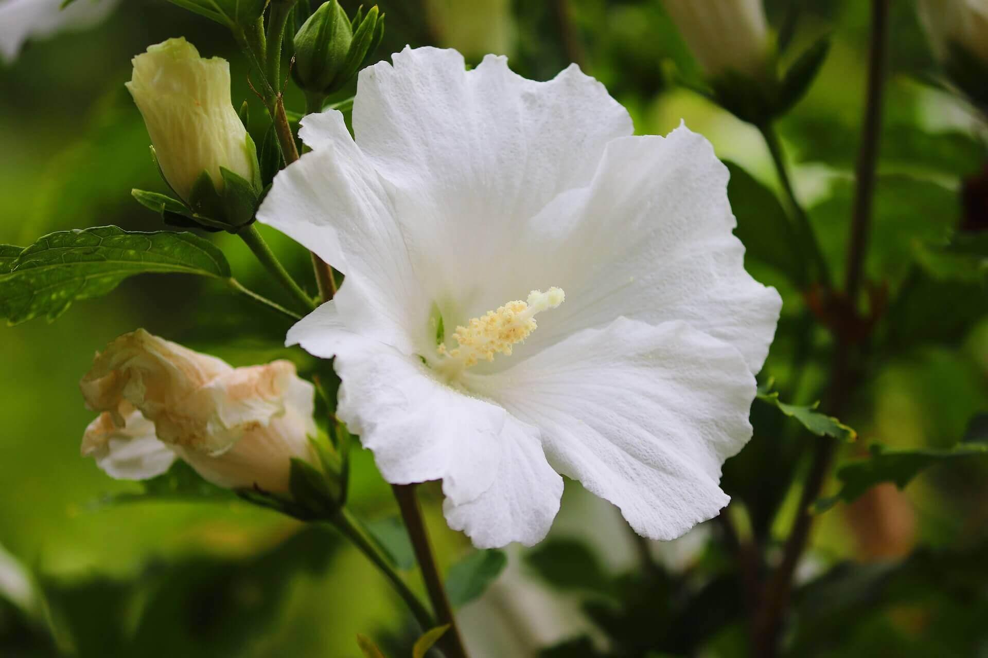 храсти-градина-плътност